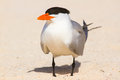 Large tern a on the beach Stock Photography