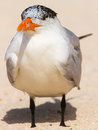 Large tern a on the beach Royalty Free Stock Photo