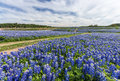 Large texas bluebonnet field in muleshoe bend austin tx Royalty Free Stock Photos