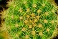 Large thorn on big cactus Royalty Free Stock Photo