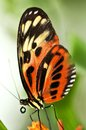 Large tiger butterfly sitting on a flower Royalty Free Stock Photography