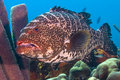 Large tiger grouper Royalty Free Stock Photo