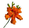 Large Tiger-lily Royalty Free Stock Photo