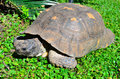 Large tortoise in camogli liguria italy Royalty Free Stock Photos