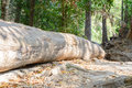 A large tree fallen in forest Royalty Free Stock Photo