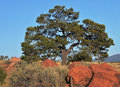 Large Tree Growing through Red Desert Rocks Royalty Free Stock Photo