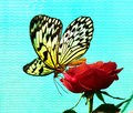 Large tree nymph butterfly idea leuconoe paper kite rice paper or on a red rose Stock Image