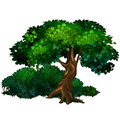 Large tree oak. Nature, forest, ecology concept