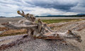 Large Tree Stump Driftwood on Beach Royalty Free Stock Photo