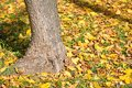 Large tree trunk in autumn time Royalty Free Stock Photo