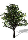 Large Tree on White Background Royalty Free Stock Photography