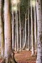 Large trees in the forest deciduos with and clean tree trunks Stock Photography