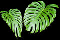 Large tropical leaves Stock Photos