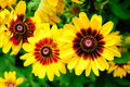 Large vibrant yellow flowers Stock Photography