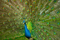 Large view on peacock presenting its tail Royalty Free Stock Photo
