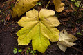 Large vine maple leaf a on the forest floor in north idaho Royalty Free Stock Photography