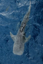 Large Whale shark from top view Royalty Free Stock Image