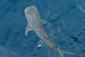 Large Whale shark from top view Stock Photography