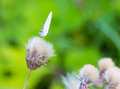 Large white butterfly  on a thistle head Royalty Free Stock Photo