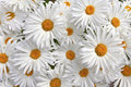 Large white daisies background of and yellow in a garden Royalty Free Stock Photo