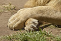 Large white lion s paws in a crossed formation while lying in the sun Stock Photo