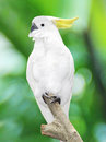 Large white parrot sitting on a branch Stock Images
