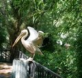 A Large White Pelican Sits Wit...