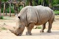 Large white (square-lipped) rhinoceros (Ceratothe Royalty Free Stock Image