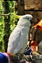 Great SulFur Crested Cockatoo large white and yellow Royalty Free Stock Photo