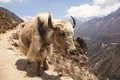Large yak at the edge near of trail next to a sheer drop hundreds of miles below to valley floor Royalty Free Stock Photo