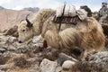 Large yak transport transports sack through the himalayas nepal Royalty Free Stock Photography