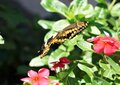 A Monarch butterfly in motion landing on a red flower. Royalty Free Stock Photo