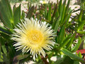 Large yellow pigface carpobrotus edulis is a creeping mat forming succulent growing on coastal sand dunes and is native to south Royalty Free Stock Image