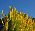 Large yellow stamens of agave flowers on blue sky Royalty Free Stock Photo