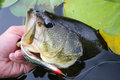 Largemouth bass fishing spoon lure an angler lips a caught from lily pads on a weedless Stock Image