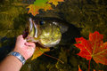 Largemouth Bass Lipped By Angler Fishing Stock Photos