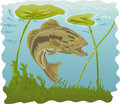 Largemouth bass with water lilies Stock Photo