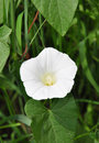 Larger bindweed (Calystegia sepium) Royalty Free Stock Photo