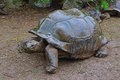 The largest tortoise in the park trying to find a dry shade during a downpour Royalty Free Stock Photo