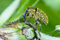 Larinus sturnus, weevil Stock Photo