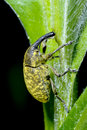 Larinus sturnus, weevil Royalty Free Stock Photo