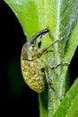 Larinus sturnus, weevil Royalty Free Stock Photo