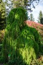 Larix kaempferi - Stiff weeping tree in the botanical garden in Poland. April 2019