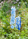 Larkspur delphinium elatum x sommernachtstraum garden in a bedding with other perennial plants Stock Photos