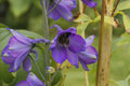 Larkspur delphinium flowering in a garden Stock Photo