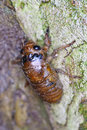 The larva of a cicada on tree stem Royalty Free Stock Photo
