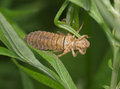 Larva of a dragonfly after a molt the dried up Royalty Free Stock Photos