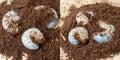 Larva of rhinoceros beetle xylotrupes gideon on soil Stock Photos