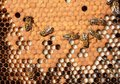 Larvae and cocoons of bees Stock Images