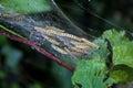 Larvae of Ermine moths Yponomeutidae Royalty Free Stock Photo